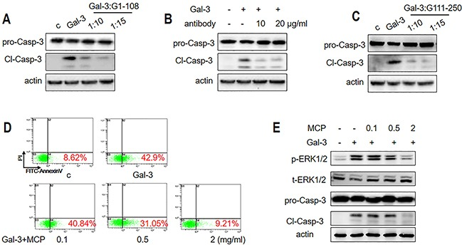 Gal-3-induced T cell apoptosis is inhibited by NT or CRD inhibitors Jurkat cells were incubated with 1 μM Gal-3 for 18 h in the presence or absence of (A) 10 or 15 μM G1-108 variant, (B) 10 or 20 μg/ml A3A12 antibody or (C) 10 or 15 μM G111-250 variant. Caspase-3 cleavage was assessed by western blot. (D-E) Jurkat cells were treated with 2.5 μM Gal-3 in the absence or presence of 0.1, 0.5 and 2 mg/ml MCP for 18 h. The apoptotic rate was measured by flow cytometry (D), and p-ERK1/2 and cleaved caspase-3 were determined by western blotting (E). The data are representative of three independent experiments.