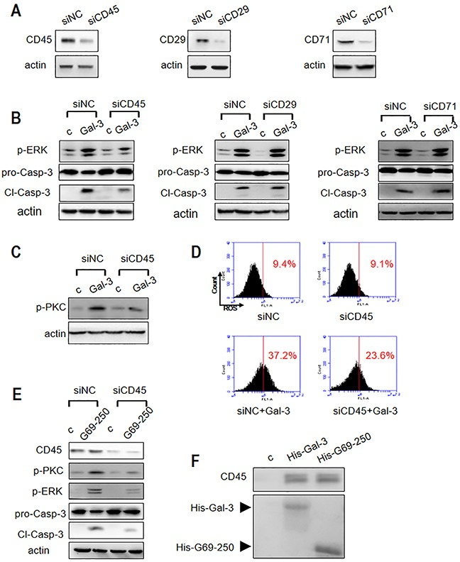 Roles of T cell surface receptor molecules in Gal-3-triggered T cell apoptosis (A) Jurkat cells were transfected with siRNAs to CD45, CD29 or CD71 and compared with the negative control siRNA (siNC). The knockdown efficiency of CD45, CD29 and CD71 was determined by western blotting. (B) Jurkat cells from (A) were incubated with or without 2.5 μM Gal-3 (c refers to control). P-ERK1/2 and cleaved caspase-3 was determined by western blotting. (C-D) Control or CD45 knocked-down Jurkat cells were incubated with or without 2.5 μM Gal-3 and p-PKC was determined by western blotting (C) and ROS production was analyzed by flow cytometry (D). (E) Control or CD45 knocked-down Jurkat cells were incubated with or without 2.5 μM G69-250 variant and then analyzed for CD45, p-ERK, p-PKC and cleaved caspase-3. (F) Jurkat cell lysate was incubated with His-Gal-3- or His-G69-250-immobilized Ni-NTA beads. The upper panel shows CD45 determined by western blotting and the lower panel shows SDS-PAGE analysis of His-Gal-3 or His-G69-250 on the beads.