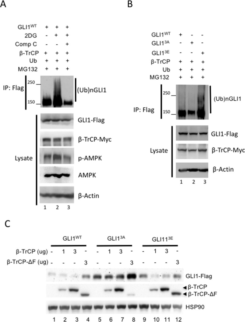 AMPK promotes β-TrCP-mediated GLI1 ubiquitination and degradation (A) HEK293 cells were co-transfected with β-TrCP, Ub and Flag-tagged GLI1 wt for 36 hours and then treated with MG-132 (10 μM) for 6 hours prior to harvest. The lysates were immunoprecipitated and immunoblotted with anti-Flag antibody. Smear bands show GLI1 ubiquitination. (B) HEK293 cells were co-transfected with β-TrCP, Ub and Flag-tagged GLI1 wt , GLI1 3A and GLI1 3E for 36 hours and treated with MG-132 (10 μM) for 6 hours prior to harvest. Ubiquitination of GLI1 was analyzed from IP of GLI1-Flag in WB with anti-Flag antibody. (C) Flag-tagged GLI1 wt , GLI1 3A or GLI1 3E was co-transfected with Myc-tagged β-TrCP (1 and 3 μg DNA) and β-TrCP ΔF (3 μg) for 36 hours in HEK293 cells. Lysates were harvested for immunoblotting with indicated antibody.