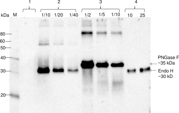 Western blot analysis of bacterial Endo H or PNGase F produced in Nicotiana benthamiana plants. N . benthamiana plants were infiltrated with pBI-Endo H or pBI-PNGase F constructs to produce Endo H or PNGase F. Lanes: 1-crude extract prepared from control plant; 2- crude extract prepared from plant infiltrated with bacterial Endo H (pBI-Endo H) and 10, 20 and 40 fold diluted samples were loaded into gel; 3- crude extract prepared from plant infiltrated with bacterial PNGase F (pBI-PNGase F),and 2, 5 or 10 fold diluted samples were loaded into gel; 4- purified plant produced Endo H used as a standard protein; 10 or 25 ng were loaded into gel. M: MagicMark XP Western Protein Standard (ThermoFisher Scientific).