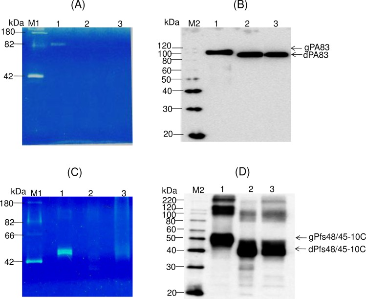 Glycan detection and Western blot analysis of glycosylated and  in vivo  deglycosylated PA83 and Pfs48/45-10C variants. (A), (C) 0.25 μg of protein from each sample was run on a 10% SDS-PAGE followed by in-gel glycan detection using the Pro-Q Emerald 300 glycoprotein staining kit. Stained proteins were visualized by UV illumination. (B), (D) Western blot analysis of the same samples using anti-His Tag antibody (BioLegend). (A), (B) Lanes: 1 –plant produced glycosylated PA83; 2– deglycosylated PA83, produced by  in vivo  deglycosylation of PA83, co-expressed with Endo H; 3– deglycosylated PA83, produced by  in vivo  deglycosylation of PA83, co-expressed with PNGase F. (C), (D) Lines: 1 –plant produced glycosylated Pfs48/45-10C; 2–deglycosylated Pfs48/45-10C, produced by  in vivo  deglycosylation of Pfs48/45-10C, co-expressed with Endo H; 3– deglycosylated Pfs48/45-10C, produced by  in vivo  deglycosylation of Pfs48/45-10C, co-expressed with Endo H. M1: CandyCane glycoprotein molecular weight standards (Molecular Probes), 250 ng of each protein per lane. M2: MagicMark XP Western Protein Standard (ThermoFisher Scientific). Indications of gPA83, dPA83, gPfs48/45-10C, dPfs48/45-10C are the same as shown in   Fig 4 .