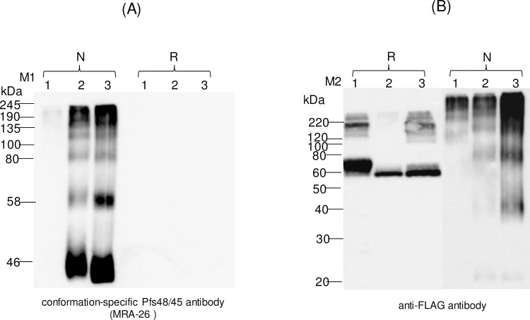 Western blot analysis of Pfs45/48 variants using the MRA-26 antibody, a conformational specific Pfs48/45 mAb. Western blot analysis of Pfs45/48 variants using the MRA-26 antibody compared with the anti-FLAG antibody (A) Native PAGE followed by Western blot analysis of Pfs45/48 variants using the MRA-26 antibody. (B) Samples that were analyzed by Native PAGE, were also analyzed on SDS-PAGE, and proteins were probed with anti-FLAG antibody. Lanes: 1- glycosylated Pfs48/45; 2- deglycosylated Pfs48/45, produced by  in vivo  deglycosylation of Pfs48/45, co-expressed with Endo H; 3- deglycosylated Pfs48/45, produced by  in vivo  deglycosylation of Pfs48/45, co-expressed with PNGase F. Reduced (R) and non-reduced (N) samples were prepared as described in the Materials and Methods. M1: color prestained protein standard (New England Biolabs); M2: MagicMark XP Western Protein Standard (ThermoFisher Scientific). Western blot using a conformation-specific anti-Pfs48/45 antibody showed that reduction of the plant produced Pfs48/45 recombinant protein prevents recognition by antibody when compared with Western analysis using a FLAG antibody.