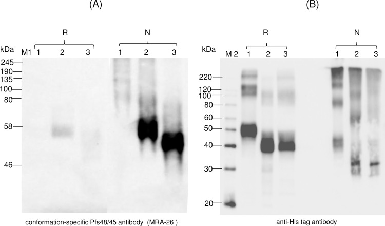 Western blot analysis of Pfs45/48-10C variants using MRA-26 antibody, a conformational specific Pfs48/45 mAb. Western blot analysis of Pfs45/48-10C variants using the MRA-26 antibody compared with the anti-His tag antibody. (A) Native PAGE followed by Western blot analysis of Pfs45/48-10C variants using the MRA-26 antibody. (B) Samples that were analyzed by Native PAGE, were also analyzed on SDS-PAGE, and proteins were probed with anti-His tag antibody. Lanes: 1- glycosylated Pfs48/45-10C; 2- deglycosylated Pfs48/45-10C, produced by  in vivo  deglycosylation of Pfs48/45, co-expressed with Endo H; 3- deglycosylated Pfs48/45-10C, produced by  in vivo  deglycosylation of Pfs48/45, co-expressed with PNGase F. Reduced (R) and non-reduced (N) samples were prepared as described in the Materials and Methods. M1: color prestained protein standard (New England Biolabs); M2: MagicMark XP Western Protein Standard (ThermoFisher Scientific). Western blot using a conformation-specific anti-Pfs48/45 antibody showed that reduction of the plant produced Pfs48/45 recombinant protein prevents recognition by antibody when compared with Western analysis using a His Tag antibody.