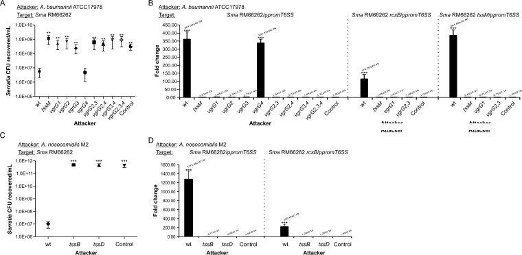 Acinetobacter killing capacity and RcsB-dependent induction of Serratia T6SS expression. (A, C) Recovery of viable S. marcescens RM66262 wt or mutant strains cocultured with wt or mutant strains of A. baumannii ATCC 17978 (A) or A. nosocomialis M2 (C) for 4 h at 37°C, with an initial 5:1 (attacker/target) ratio. E. coli DH5α mixed with target bacteria at a 5:1 ratio was used for controls. A. baumannii wt or vgrG4 strains were 200-fold more proficient in outcompeting Serratia than the other vgrG single, double, or triple mutant strains analyzed. A. nosocomialis wt was ∼5 orders of magnitude more proficient in outcompeting Serratia than the mutant strains analyzed. Average values ± SEM from four independent experiments are shown (**, P