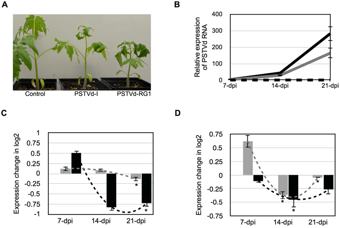 Effect of the PSTVd variants on the predicted target mRNAs. ( A ) Both the PSTVd-I and PSTVd-RG1 variants were inoculated into tomato plants. At 14-dpi, the plants inoculated with both of the PSTVd variants showed disease symptoms when compared to mock inoculated plants. ( B ) Total RNA extracted from tomato plants at 7, 14 and 21-dpi were used to monitor the PSTVd titer. In the graph, the dotted black line (on the X-axis) represents mock inoculated plants, while the grey and black solid lines indicate the PSTVd-I and PSTVd-RG1 inoculated plants, respectively. The effects of the PSTVd variants on the levels of the ( C ) chloride channel protein CLC-b-like and ( D ) the RPS3a-like mRNAs were evaluated at different time intervals. The expression change is presented on a log 2 scale. Each experiment was performed at least three times with true biological replicates. The changes in the expression levels of the mRNAs between the time points are shown with dotted lines. The error bars indicate SD. The asterisks indicate statistically significant for paired t- test ( P