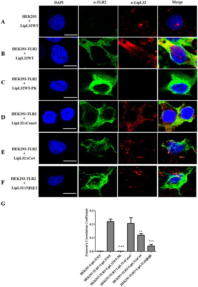 Co-localization of LipL32 and TLR2. The confocal microscopy was used to observe the co-localization of LipL32 and TLR2 on HEK293-TLR2 cell. The purified LipL32 variants were incubated with HEK293-TLR2 cell as described in Materials and Methods and observed by confocal microscopy. TLR2 was stained by Alexa488 (green) and LipL32 was stained by Alexa594 (red). The yellow color indicated that the two proteins were co-localized on HEK293-TLR2 cell. ( A ) HEK293 cell incubated with LipL32WT. ( B ) HEK293-TLR2 cell incubated with LipL32WT. ( C ) HEK293-TLR2 cell incubated with LipL32WT treated with proteinase K (PK). ( D ) HEK293-TLR2 cell incubated with LipL32ΔCenα3. ( E ) HEK293-TLR2 cell incubated with LipL32ΔCα4. ( F ) HEK293-TLR2 cell incubated with LipL32ΔNβ1β2. ( G ) Statistic analysis of the co-localization of the LipL32 and TLR2 on HEK293-TLR2 cell. Pearson's correlation was used to calculate the overlap between image pairs. All conditions are repeated at least three independent experiments. Scale bar, 7.5μm; **p
