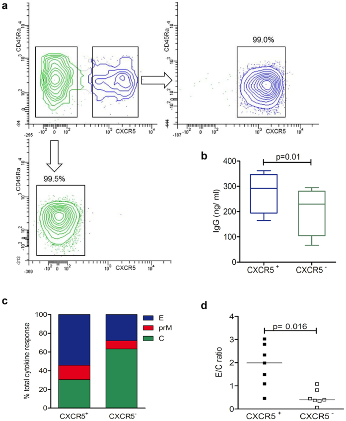 CXCR5 + and CXCR5 − CD4 T cell response to YF virus C, prM and E peptides. ( a ) CD4 + CD45Ra − memory T cells from PBMC of healthy donors were sorted into CXCR5 + (upper right) and CXCR5 − cells (lower left). ( b ) IgG concentration revealed by ELISA in supernatants of sorted autologous B cells cultured for 10 days with either CXCR5 + or CXCR5 − cells in 4 independent experiments. Statistical signifiance was determined with the two-way ANOVA. ( c ) Percentage of cytokine events in sorted CXCR5 + and CXCR5 − subsets contributed by C, prM and E peptides as determined by intracellular cytokine staining. ( d ) Ratios of results with E and C peptides obtained in individual donors. Statistical signifiance was determined with the Wilcoxon matched-pairs signed rank test.