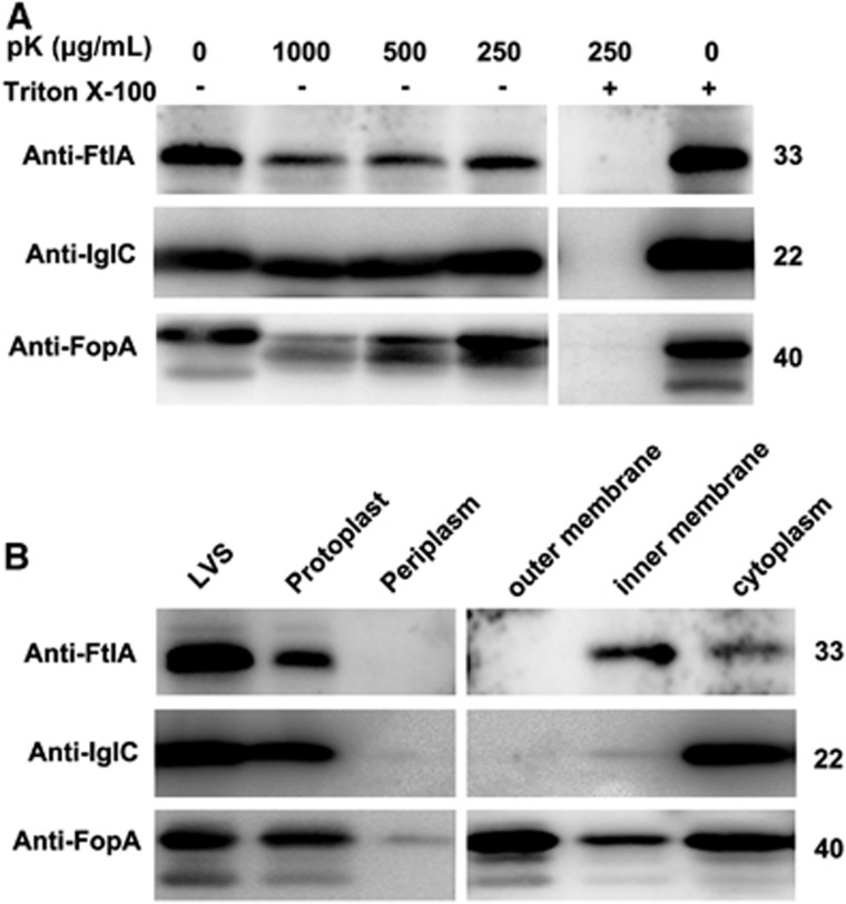 Subcellular localization of FtlA. ( A ) Protease inaccessibility of FtlA. Intact cells of LVS were first incubated with different concentrations of protease K (pK) with or without Triton X-100 permeabilization. FtlA, IglC (cytoplasmic protein control), and FopA (outer membrane protein control) were detected in the cell lysates by Western blotting. ( B ) Distribution of FtlA in subcellular fractions. Subcellular fractionation was performed with intact cells of LVS. FtlA, IglC and FopA were detected in the whole cell lysate (LVS) or subcellular fractions of LVS by Western blotting. The sizes of the proteins are indicated on the right in kDa.