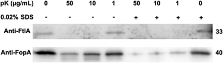 Protease accessibility of OMV-associated FtlA. OMVs purified from F. tularensis LVS supernatant were treated with proteinase K in the presence or absence of 0.02% SDS. FtlA and FopA in the samples were probed by Western blotting. The sizes of the proteins are indicated on the right in kDa.