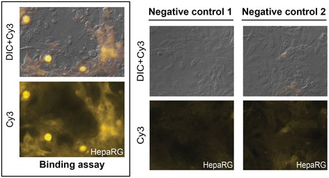 Bac HCVpp associate with human hepatocyte cells. Human HepaRG hepatocytes incubated with bac HCVpp for two hours are shown (left). Binding assay was performed using primary anti-E1 (H4) monoclonal antibody and visualized with Cy3 -labeled secondary anti-IgG antibody. Negative controls are also shown (right). Negative control 1, primary antibody was omitted; negative control 2, bac Flupp was used instead of bac HCVpp. DIC, Differential Interference Contrast