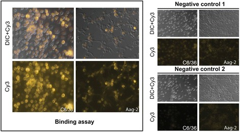Bac HCVpp associate with Aedes mosquito cell lines C6/36 and Aag-2. Mosquito cells incubated with bac HCVpp for two hours are shown (left). Binding assay was performed using primary anti-E1 (H4) monoclonal antibody and visualized with Cy3 -labeled secondary anti-IgG antibody. Negative controls are also shown (right). Negative control 1, primary antibody was omitted; negative control 2, bac Flupp was used instead of bac HCVpp. DIC, Differential Interference Contrast