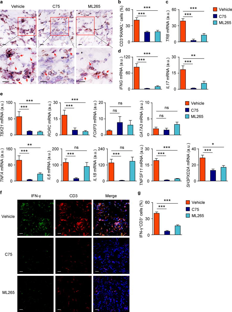 Inhibiting fatty acid synthesis or accelerating pyruvate generation corrects the tissue-invasive and arthritogenic behavior of RA T cells CD4 + CD45RO − PBMC were isolated from RA patients with active disease and adoptively transferred into human synovium-NSG chimeric mice. Mice were randomly assigned to one of three treatment arms ( n = 14 synovial grafts/treatment arm): Vehicle arm (vehicle injection); RA treated with C75 (5 mg/kg, i.p. every other day) or RA treated with ML265 (10 mg/kg, i.p. daily). Synovial tissues were harvested, tissue sections were stained with anti-human <t>CD3</t> (brown) and anti-RANKL (pink) antibodies and frequencies of RANKL positive cells were quantified in randomly selected high-powered fields. ( a ) Representative tissue stains showing human CD3 + and RANKL + T cells infiltrating into synovial tissue, where they form cellular clusters. Scale bars, 20 μm. ( b ) Frequencies of CD3 + RANKL + T cells in the tissue as percent of total cells. ( c ) RT-PCR-based quantification of T cell receptor ( TRB ) transcripts. ( d ) Gene expression of IFNG and IL17 . ( e ) Gene expression of transcription factors, key cytokines and TKS5 determined by RT-PCR. ( f , g ) Co-immunofluorescence staining of tissue sections for IFN-γ and CD3. Frequencies of tissue-residing IFN-γ + CD3 + T cells in the different treatment arms. Scale bars, 20 μm. All data are mean ± s.e.m. * P