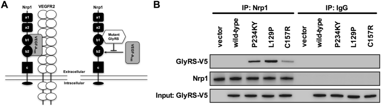 Mutant GlyRS aberrantly binds to the transmembrane receptor neuropilin 1. ( A ) Schematic of Nrp1 and one of its principal co-receptors, VEGFR2, which together bind to the secreted glycoprotein VEGF-A 165 (on the left) 11 . VEGF-A functions in vasculogenesis, angiogenesis, and arteriogenesis, with the latter two processes occurring through Nrp1 and VEGFR2 signalling 17 , 18 . VEGF-A is also critical for nervous system development and maintenance 15 . VEGF-A 165 binding to Nrp1 is mainly dependent by the b1 domain 12 . CMT2D-associated mutations in GARS cause a conformational opening of GlyRS, allowing the aberrant binding of mutant GlyRS to the b1 domain of Nrp1 (on the right) 10 . This competitively antagonises Nrp1/VEGF-A signalling, which contributes to motor deficits observed in CMT2D mice 10 . Schematics are not drawn to scale and adapted from Plein et al . 18 and He et al . 10 . ( B ) Co-immunoprecipitation of endogenous Nrp1 showing aberrant interaction with P234KY, L129P, and C157R GlyRS (ectopically expressed with a V5-tag) in NSC-34 cells. Wild-type GlyRS shows no significant binding to Nrp1. The aberrant interaction is weaker with C157R than with P234KY GlyRS, which correlates with the severity of CMT phenotypes in Gars C201R /+ and Gars Nmf249 /+ mice, respectively.