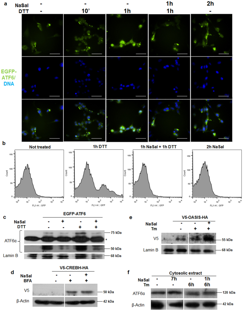 Salicylate inhibits ATF6α translocation to the nucleus. ( a ) MEFs were plated on coverslips and transfected with 1 µg of pCMVshortEGFP-ATF6. Eight hours after transfection cells were treated either with 20 mM NaSal, 1 mM DTT or a combination of both for the indicated times. Cells were then fixed with 4% PFA, counterstained with DAPI and the coverslips were mounted on glass slides. Cells were visualized under 600 x magnification in the fluorescence microscope. White scale bars indicate 50 µm. ( b ) HEK293 cells were transfected with pEGFP-ATF6 treated either with 20 mM NaSal, 1 mM DTT or pre-treated with NaSal and later with DTT. Cells were carefully collected and lysed with nuclei flow cytometry buffer containing 1% Triton X-100. Nuclei obtained after centrifugation were washed and analysed for green fluorescence in a FACSCan flow cytometer. 10.000 events were collected inside the gate determined for nuclei size and granulosity and results were plotted as histograms for green fluorescence intensity versus cell counts. ( c ) Nuclei from HEK293 cells transfected pEGFP-ATF6 and treated with 20 mM NaSal and/or 1 mM DTT were collected following flow cytometry protocol and were lysed for nuclear extract obtaining. Extracts were analysed with anti-ATF6α and anti-lamin B antibodies after western blotting. Asterisk indicates a nonspecific band. ( d ) HEK293 cells were transfected with V5-CREBH-HA for 24 hours where indicated. Cell culture medium was replaced with fresh medium containing 10 µM bortezomib and cells were left untreated, treated with 5 µg/mL brefeldin A (BFA) for six hours or pre-treated with 20 mM NaSal for one hour and later with BFA for six hours. Whole cell extracts were obtained after lysis with RIPA buffer and analysed with anti-V5 and anti-β-actin after western blotting. ( e ) HEK293 cells were transfected with V5-OASIS-HA where indicated. Twenty four hours after transfection, cell medium was replaced with medium containing 10 µM bortezomib, followed by 