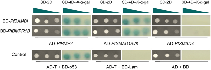 Interactions among Bambi, Bmpr1b and members of the TGFβ/BMP signaling pathway in Pinctada fucata detected by a yeast two-hybrid system. The plasmids are cotransformed into the yeast AH109 and spread on the dropout synthetically defined (SD) medium. The white colonies on SD-Leu-Trp medium (SD-2D) indicate that the plasmids are successfully transformed. The blue colonies on SD-Ade-His-Leu-Trp/X-α-Gal medium (SD-4D- X-α-Gal) indicate the presence of an interaction between two proteins, comparable with that of the positive (AD-T + BD-p53), negative (AD-T + BD-Lam) and empty plasmid (AD + BD) controls. The triangle indicates that the yeast is gradient diluted five times with sterilized water before spreading on the medium.