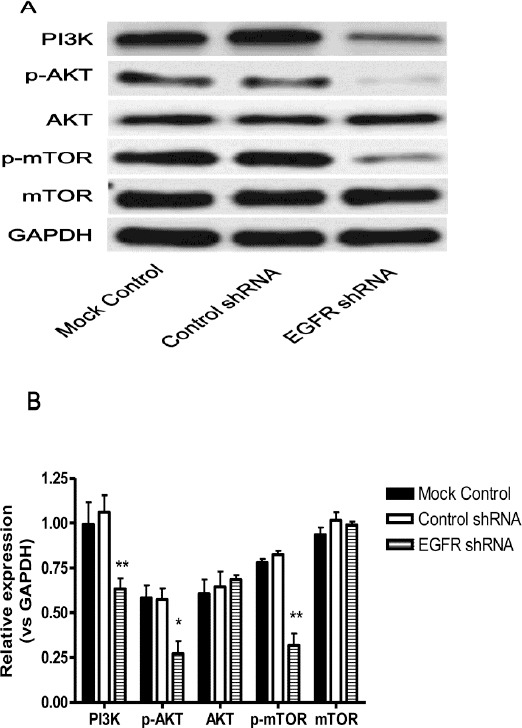 EGFR down-regulation mediated RB inhibition is through the PI3K/AKT/mTOR signaling pathway. Weri-Rb-1 cells were first transfected with shRNA lentiviruses and then the expression of PI3K, p-AKT, AKT, p-mTOR, and mTOR was determined by Western blot. (A) Representative result is shown. (B) Grayscale analysis. Data shown are mean±SD of three independent experiments. *, P