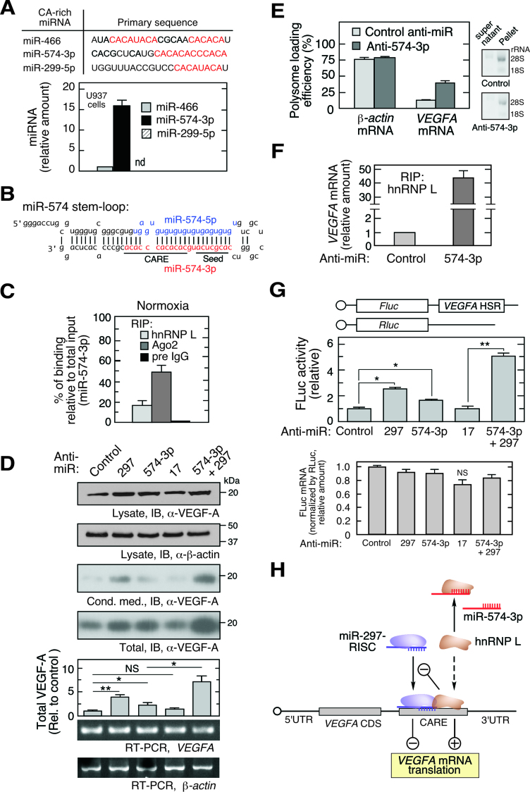 miR-574-3p represses hnRNP L binding to VEGFA mRNA and translational activation in normoxia. ( A ) Bioinformatic identification of CA-rich miRNAs and their expression in U937 cells. qRT-PCR was performed and expression normalized to RNU6B. ( B ) Sequence of precursor miR-574 stem–loop. Guide strand miR-574-5p (blue) and passenger strand miR-574-3p (red) are highlighted; seed and CARE regions are underlined. ( C ) Interaction of miR-574-3p with hnRNP L and RISC shown by percentage of binding relative to total input. U937 cells were cultured under normoxic condition for 24 h. Lysates with the same amount of total protein were subjected to IP with anti-hnRNP L, -Ago2 or pre-immune IgG antibodies, and then qRT-PCR using miR-574-3p-specific probe. Input RNA from the same amount of lysates was used as normalizer. ( D ) Endogenous miR-574-3p inhibits VEGF-A expression. U937 cells were transfected with negative control anti-miR, anti-miR-574-3p, -297 (200 nM), or both (100 nM/each) for 48 h, and lysates immunoblotted with anti-VEGF-A and -β-actin antibodies. VEGFA and β-actin mRNA was determined by semi-quantitative RT-PCR (equal total RNA for RT; 25 and 15 cycles for PCR of VEGFA and actin β-mRNA, respectively). ( E ) Inactivation of miR-574-3p increases VEGFA mRNA translation. U937 cells were transfected with anti-miR-574-3p or control anti-miR (200 nM) for 48 h. Ribosome-free and -bound mRNA were fractionated on a polysome cushion (rRNA was shown), and total RNA extracts were subjected to qRT-PCR using VEGFA- and β-actin -specific probes. ( F ) Endogenous miR-574-3p reduces the interaction between hnRNP L and VEGFA mRNA. U937 cells were transfected with anti-miR-574-3p or control (200 nM) for 24 h. Lysates were subjected to RIP with anti-hnRNP L antibody coupled with qRT-PCR using VEGFA -specific probe. ( G ) Endogenous miR-574-3p inhibits expression of HSR-bearing reporter. FLuc reporter bearing the VEGFA HSR was co-transfected into U937 cells with anti-miR-574-3p or an