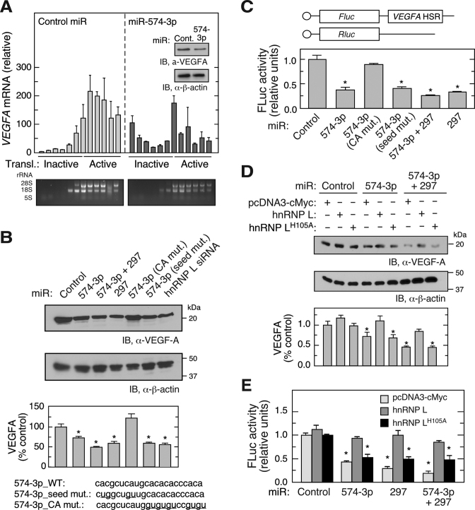 CARE-dependent inhibition of hnRNP L by miR-574-3p reduces VEGF-A expression in hypoxia. ( A ) Overexpression of miR-574-3p represses polysome loading of VEGFA mRNA in hypoxia. U937 cells were transfected with miR-574-3p or control miR (200 nM) for 48 h in hypoxia, and lysates subjected to sucrose density gradient fractionation. RNA isolated from each fraction was subjected to qRT-PCR to determine VEGFA mRNA distribution. Inset: VEGF-A expression was measured by immunoblot. ( B ) CARE is required for miR-574-3p-mediated inhibition of VEGF-A in hypoxia. U937 cells were transfected with wild-type and mutant miR-574-3p, miR-297, or hnRNP L siRNA (200 nM) as indicated. After 48 h, cell lysates were subjected to immunoblot analysis with anti-VEGF-A or -β-actin antibody, and quantitated by densitometry. ( C ) Overexpression of miR-574-3p inhibits translation of HSR-bearing reporter in hypoxia. FLuc reporter bearing VEGFA HSR was co-transfected into U937 cells with RLuc reporter and wild-type and mutant miR-574-3p, miR-297 or both for 48 h. FLuc activity was normalized by RLuc expression. ( D ) Overexpression of hnRNP L overcomes miR-574-3p-mediated repression of VEGF-A in hypoxia. U937 cells were co-transfected with pcDNA3-Myc-hnRNPL or the H 105 A mutant and with miR-574-3p or miR-297, or both, for 48 h in Hpx. Lysates were subjected to immunoblot analysis with anti-VEGF-A or -β-actin antibodies. ( E ) Overexpressed hnRNP L reverses miR-574-3p-mediated repression of HSR-bearing reporter in hypoxia. FLuc reporter bearing V EGFA HSR was co-transfected into U937 cells with miR-574-3p, miR-297, or both (or control miR) in the presence of pcDNA3-Myc-hnRNPL or its H 105 A mutant for 48 h in Hpx. FLuc was normalized by RLuc expression. In (A–E), data are presented as mean ± SD ( n = 3; * P ≤ 0.05, Student's t -test).