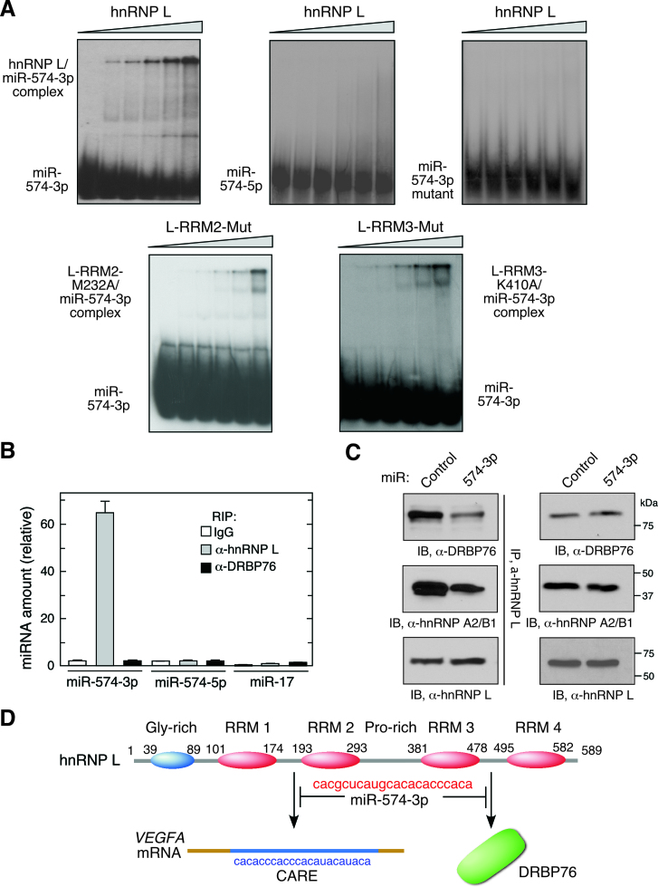 miR-574-3p binds multiple hnRNP L domains and inhibits binding to mRNA targets and HILDA complex formation. ( A ) hnRNP L and miR-574-3p form stable complexes. 32 P-labeled miR-574-3p, miR-574-5p, or CARE mutant miR-574-3p were incubated with increasing amounts of recombinant hnRNP L or variants (0, 20, 50, 100, 200 and 500 nM), and RNA-protein complexes resolved by electrophoresis on a nondenaturing 5% polyacrylamide gel. ( B ) miR-574-3p-associated hnRNP L does not bind DRBP76 in hypoxia. U937 cells were cultured in hypoxia for 24 h. Lysates were IPed using anti-hnRNP L and -DRBP76 antibodies, and qRT-PCR was done with probes against miR-574-3p, miR-574-5p and miR-17. Data are presented as mean ± SD ( n = 3, Student's t -test). ( C ) miR-574-3p blocks HILDA complex assembly. U937 cells were transfected with miR-574-3p or control miR, and lysates IPed with anti-hnRNP L antibody and immunoblotted using anti-DRBP76, -hnRNP A2/B1 and -hnRNP L antibodies. ( D ) Schematic depicting interaction of hnRNP L and miR-574-3p and its downstream consequences. miR-574-3p CARE interacts with RRM1,2 and RRM3,4, and prevents binding to VEGFA mRNA CARE and DRBP76, respectively.