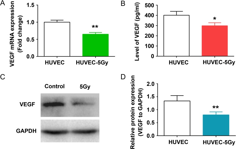 Decreased expression and secretion of VEGF in HUVECs after radiation. HUVEC monolayers were irradiated with 5 Gy radiation and incubated at 37°C for 96 h. (A) The mRNA levels of VEGF were analyzed by qRT-PCR. ** P