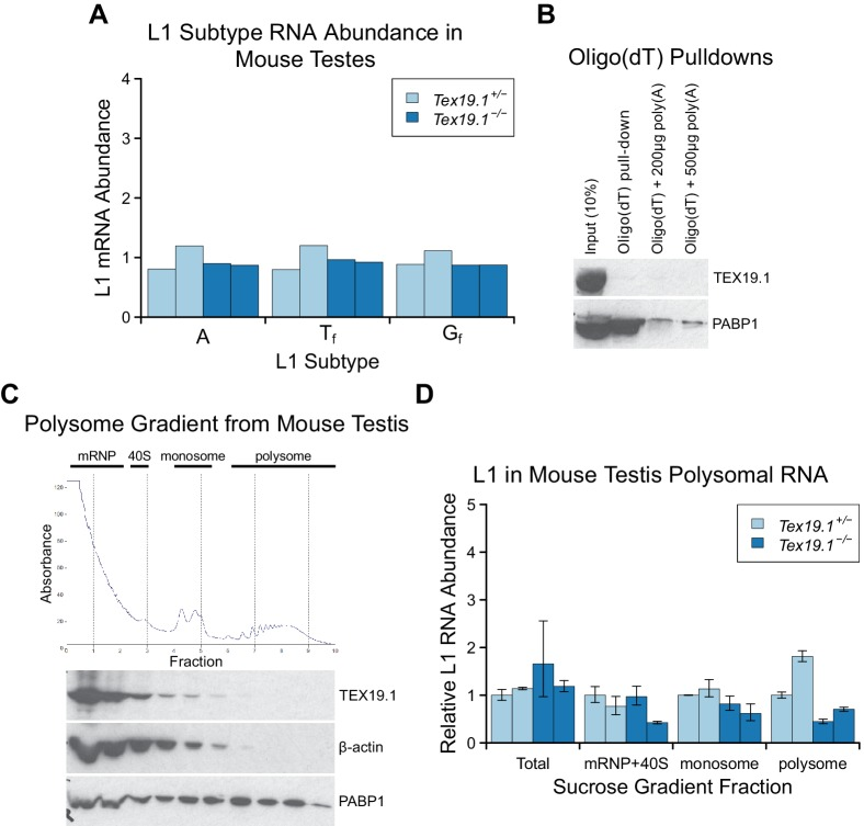Tex19.1 does not inhibit L1 translation. ( A ) qRT-PCR for A, T f and G f active subtypes of L1 in P16 testes. L1 subtype mRNA abundance was measured relative to β-actin, and normalised to the mean Tex19.1 +/− control level. Two animals for each genotype are shown. ( B ) Oligo(dT) pull-downs from P16 testes. Oligo(dT) cellulose beads were used to isolate poly(A) RNA from testis lysates, and associated proteins analysed by Western blotting with indicated antibodies. 200 or 500 µg poly(A) RNA was added as a competitor. The poly(A) RNA binding protein PABP1 was used as a positive control. TEX19.1 is not detectably associated with poly(A) RNA in testes. C. Sucrose density gradient enrichment of translation intermediates from P18 testes. The protein content of the fractions was monitored by reading absorbance at 254 nm, and peaks corresponding to messenger ribonucleoproteins (mRNPs), 40S ribosomal subunits, monosomes and polysomes are indicated. Western blots for TEX19.1, β-actin and PABP1 are shown for each fraction. TEX19.1 is not detectably associated with actively translating polysomes in testes. D. qRT-PCR for L1 mRNA in mRNP + 40S, monosome, and polysome fractions in sucrose gradients from Tex19.1 +/− and Tex19.1 −/− P18 testes. L1 mRNA abundance was measured relative to β-actin in each fraction, and normalized to one of the heterozygous control animals. A proportion of L1 mRNA associates with polysomes consistent with previous reports ( Tanaka et al., 2011 ). Meiotic arrest and increased spermatocyte death between P16 and P22 in Tex19.1 −/− testes ( Ollinger et al., 2008 ) may be generating some differences in testicular cell composition in these P18 samples and causing subtle differences in L1 mRNA distribution between Tex19.1 +/− and Tex19.1 −/− samples. However, there is no statistically significant increase in polysome-associated L1 mRNA in Tex19.1 −/− P18 testes (t-test, p=0.4). Error bars indicate SEM for technical replicates. DOI: http://dx.doi.org/10.7554/