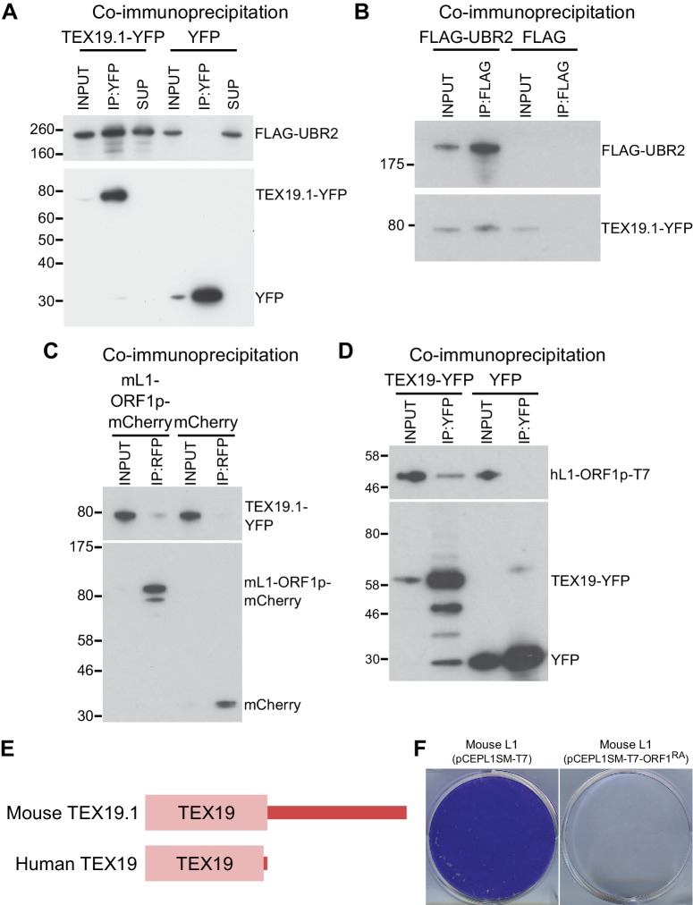 TEX19 orthologs interact with UBR2 and L1-ORF1p. ( A ) Co-immunoprecipitations (co-IPs) from stable HEK293 cell lines expressing either TEX19.1-YFP or YFP alone transiently transfected with FLAG-UBR2. Anti-YFP immunoprecipitates (IPs), inputs, and supernatants (SUP) were Western blotted with anti-FLAG and anti-YFP antibodies. ( B ) Reciprocal co-IP for panel A. HEK293T cells were transiently transfected with TEX19.1-YFP and either FLAG-UBR2 or FLAG alone, and anti-FLAG IPs and their inputs were Western blotted with anti-FLAG and anti-YFP antibodies. Positions of FLAG-UBR2, TEX19.1-YFP, YFP alone and pre-stained molecular weight markers in kD are indicated. ( C ) Co-immunoprecipitation from HEK293T cells co-transfected with TEX19.1-YFP and mCherry-tagged mL1-ORF1p expression constructs and IPd for mCherry. YFP or mCherry alone were used as negative controls. Anti-mCherry IP inputs and IPs were Western blotted with anti-mCherry or anti-YFP antibodies. Positions of pre-stained molecular weight markers in kD are indicated.( D ) Co-IPs from HEK293T cells co-transfected with epitope-tagged hL1-ORF1p and human TEX19-YFP expression constructs. YFP was used as a negative control. IP inputs and IPs were Western blotted with anti-T7 or anti-YFP antibodies. ( E ) Diagram showing the domain structure of mouse and human TEX19 orthologs. A conserved TEX19 domain is present at the N-terminus of both proteins, but the C-terminal region of mouse TEX19.1 is not conserved in the truncated human TEX19 protein. ( F ) Mouse L1-ORF1 RA p mutants used to test for RNA-independent interactions have impaired mobilization. Plates of G418-resistant colonies from L1 retrotransposition assays in HeLa cells. Assays for mouse L1 (pCEPL1SM-T7) and mouse L1 carrying the R297A and R298A mutations in the RNA binding domain of ORF1p that reduce its affinity for RNA ( Martin et al., 2005 ) (pCEPL1SM-T7-ORF1 RA ). DOI: http://dx.doi.org/10.7554/eLife.26152.006