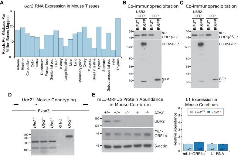 The ubiquitously-expressed E3 ubiquitin ligase UBR2 physically interacts with L1-ORF1p but does not regulate its abundance in the cerebrum. ( A ) Ubr2 transcript abundance in multiple adult tissues was determined from ENCODE <t>RNA</t> sequencing data GSE36025 ( Lin et al., 2014 ) by calculating the total number of reads mapped to the Ubr2 locus per million reads mapped in the dataset, and normalising this to the length of the Ubr2 locus. ( B, C ) Co-immunoprecipitations (co-IPs) from HEK293T cells co-transfected with T7 epitope-tagged hL1-ORF1p and mouse UBR2-GFP expression constructs. GFP alone was used as a negative control. ( D ) Genotyping of Ubr2 −/− mice. An Xba I restriction site and premature stop codon (asterisk) are introduced into exon 3 of Ubr2 by CRISPR/Cas9, and mice genotyped by amplifying a region encompassing exon 3 (primers indicated by arrows) and digesting the <t>PCR</t> product with Xba I. Three Ubr2 −/− mice, and Ubr2 +/+ and distilled water (dH 2 O) controls are shown. ( E ) Western blots showing endogenous UBR2 and mL1-ORF1p expression in Ubr2 +/+ and Ubr2 −/− mouse cerebrum. β-actin was used as a loading control. Positions of epitope-tagged proteins and pre-stained molecular weight markers in kD are indicated. Quantification of endogenous mL1-ORF1p abundance and L1 RNA abundance relative to β-actin in Ubr2 +/+ and Ubr2 −/− mouse cerebrum is also shown. Relative abundance was normalized to the mean of the Ubr2 +/+ control mice. Error bars indicate SEM, MW markers (kD for protein, bp for DNA) are shown beside blots and gels. No significant difference in either mL1-ORF1p or L1 RNA abundance was detected between wild-type and mutant tissue ( t -test, p=0.4 for mL1-ORF1p; -test, p=0.6 for L1 RNA). DOI: http://dx.doi.org/10.7554/eLife.26152.013