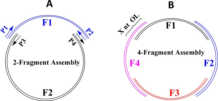 Plasmid assembly by E . coli in vivo recombination of multiple DNA fragments (F1, F2, F3, and F4) with overlapping ends. ( A ) Assembly by 2 DNA fragments, ( B ) Assembly by 4 DNA fragments. The length of overlapping ends is indicated by X nt OL (e.g. 18 nt OL). The DNA fragments should contain a replication origin (Ori), an antibiotic resistant gene (AmpR or KanR), a promoter, and one or more target genes (or gene fragments). Each of the DNA fragments is generated by PCR from DNA templates and a pair of primers (P1/P2, P3/P4) with high fidelity Q5 DNA polymerase.