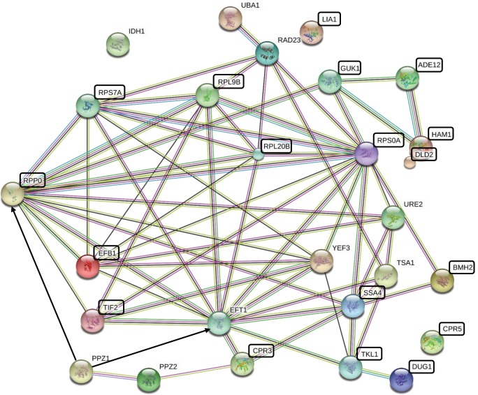 Protein-protein interaction network of the S . cerevisiae orthologs of the C . albicans proteins affected by CaPpz1 deletion. The network of proteins listed in Table 3 and the two budding yeast phosphatase paralogs Ppz1 and Ppz2 was generated using String 10.5 with default settings at medium stringency. The network nodes are proteins identified by the gene name, while the lines are edges representing functional associations based on different types of evidence according to the String color coding scheme. The black boxes highlight the proteins which are associated with biofilm formation. The black arrows represent the two putative substrates of Ppz1.