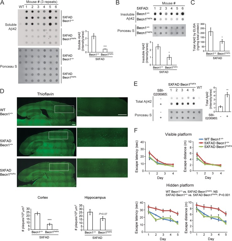 Becn1 FA/FA mutation ameliorates cerebral Aβ accumulation, memory deficits and mortality of Alzheimer's mouse models. (A-B) Dot-blot assays and quantification of soluble (A) and insoluble (B) Aβ42 levels in homogenated brain samples of 6-month old 5XFAD Becn1 +/+ and 5XFAD Becn1 FA/FA mice, immunostained with anti-Aβ42 antibody. Total protein loading was labeled by Ponceau S. Triplicate experiments from 6 mice in each group were shown. ***, P