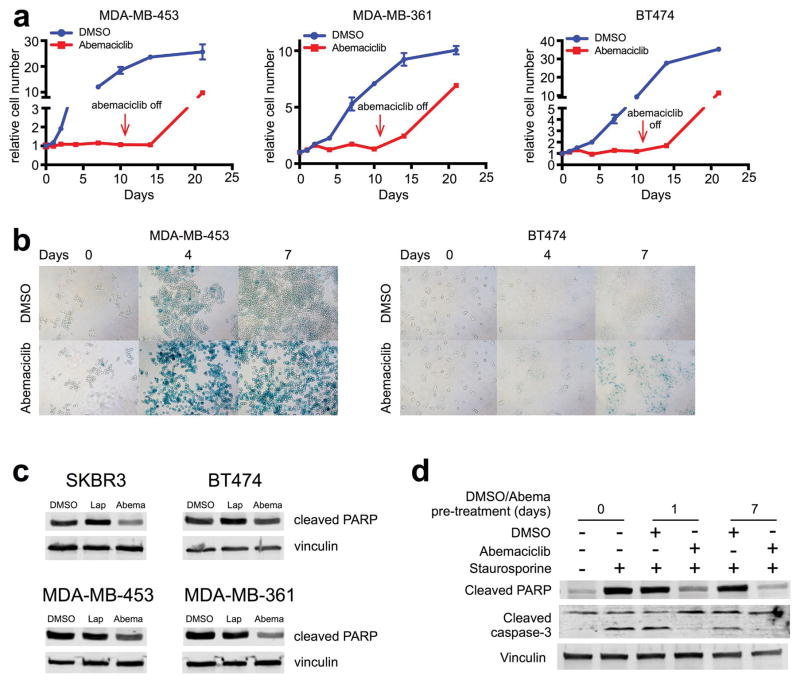 Effects of CDK4/6 inhibition on breast cancer cell proliferation and apoptosis in vitro a , Relative numbers of breast cancer cells cultured in 250 nM (MDA-MB-453) or 500 nM (MDA-MB-361, BT474) <t>abemaciclib</t> or <t>DMSO</t> for 11d, followed by drug withdrawal (arrow). b , Representative SA-β-galactosidase staining of MDA-MB-453 cells (left) and BT474 cells (right) treated with DMSO or abemaciclib (MDA-MB-453, 250 nM; BT474, 500 nM) for 0, 4, and 7 days. c , Western blot of SKBR3, BT474, MDA-MB-453, and MDA-MB-361 cells treated with DMSO, lapatinib, or abemaciclib for 48h. d , Western blot of MDA-MB-453 cells pretreated with DMSO or abemaciclib (500 nM) for 0, 1, or 7 days prior to exposure to staurosporine (500 nM) for 4h. For western blot source images, see Supplementary Figure 1 .