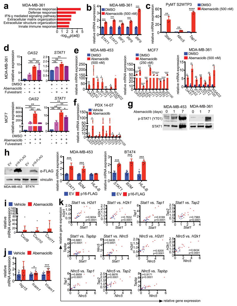 CDK4/6 inhibition increases interferon signaling a–b , Top ranked GO terms (a) and expression of interferon-responsive transcription factors (b) in MDA-MB-361 cells treated with 500 nM abemaciclib or DMSO (7d, n=3). c , Expression of interferon sensitive genes (ISGs) in MMTV-PyMT -S2WTP3 cells treated with DMSO or abemaciclib (500 nM, 7d) (n=3). d , Expression of ISGs in MDA-MB-361 and MCF7 cells treated with abemaciclib (100 nM), fulvestrant (100 nM), or the combination for 7d (n=3). e , Expression of ISGs in MDA-MB-453, MCF7, and MDA-MB-231 cells treated with abemaciclib or DMSO (7d, n=3). f , Expression of ISGs in PDX 14-07 tumors treated with abemaciclib or vehicle (21–28d, vehicle, n=4; abemaciclib, n=2 tumors/group). g , phospho- and total STAT1 in cells treated with 500 nM abemaciclib as indicated. h , Confirmation of p16-FLAG overexpression in MDA-MB-453 and BT474 cells (left) and gene expression in these cell lines by qPCR (right) (n=6). i–j , Gene expression changes in MMTV-rtTA/tetO-HER2 tumors from mice treated with vehicle or abemaciclib for 12d (vehicle, n=11; abemaciclib, n=12 tumors/group). Relative expression of interferon-responsive T cell chemoattractants (i); relative expression of ISGs (j). k , Correlation of expression of Stat1 and Nlrc5 with genes involved in antigen processing and presentation in MMTV-rtTA/tetO-HER2 tumors. Blue dots, vehicle-treated tumors; red dots, abemaciclib-treated tumors. (r is Pearson product-moment correlation coefficient). Unpaired two-tailed t-tests (b,d–f,h–j) adjusted for multiple comparisons (c). Error bars, SD. *p