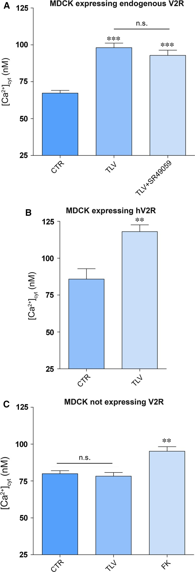Effect of <t>tolvaptan</t> on free cytosolic calcium content in MDCK cells. ( A ) MDCKI cells, expressing V2R endogenously, were loaded with 7 μM fura‐2‐AM for 15 min. at 37°C in DMEM. Cells were left under basal conditions ( n = 71 cells) or treated with tolvaptan ( n = 97 cells) or tolvaptan in the presence of V1a receptor antagonist (SR49059) ( n = 60 cells). Data are expressed as means ± S.E.Ms (*** P