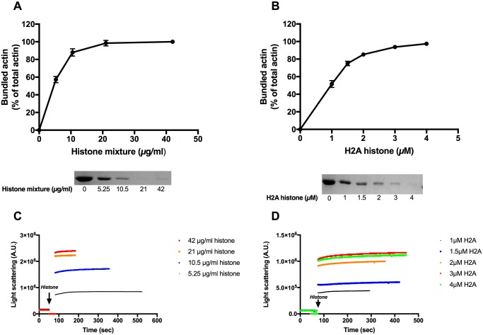 Histone mixture and H2A histone induced bundle formation of Mg-F-actin followed by low speed centrifugation and by light scattering. 5.25–84 μg/ml histone mixture (A), or 1–4 μM (14–56 μg/ml) H2A histone (B), were added to 4 μM MgF-actin in pH7.4 F-buffer and centrifuged at low speed. Samples were centrifuged at 20,800xg for 8 min, supernatants run on SDS-PAGE and evaluated as described in MATERIALS and METHODS. The presented data are mean and standard deviation of three independent experiments. Insets: actin lanes, representatives of three independent experiments, from SDS-PAGE of low speed centrifugation supernatants. (C) 5.25–42 μg/ml histone mixture or (D) 1–4 μM (14–56 μg/ml) H2A histone were added to 4 μM MgF-actin in pH7.4 F-buffer and the light scattering change was followed as described in MATERIALS and METHODS. Presented data are representative of three independent experiments. All measurements were done at pH7.4 in F-buffer.