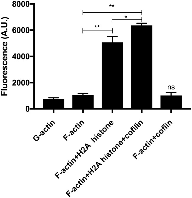 Effect of 3 μM (42 μg/ml) H2A histone and 6 μM cofilin on the viscosity of 4 μM MgF-actin measured by Viscous Aqua fluorescence viscosity probe. Viscous Aqua in original Ursa BioScience vial was dissolved in 50 μl methanol then diluted 50 times in actin buffer and added to actin containing solutions in 1 to 50 ratio in pH 7.4 buffer. The fluorescence of the mixtures was measured as described in MATERIALS and METHODS. The fluorescence values (in artificial units, A.U.) of the samples at 492 nm emission maximum minus the fluorescence of the buffer are given in the figure. The data obtained were compared by statistical analysis and the significance of the differences was indicated. * = p