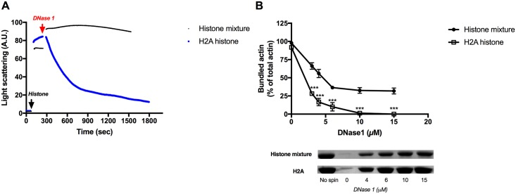 Effect of DNase1 on the light scattering and sedimentation of 4 μM MgF-actin bundled by histone mixture or H2A histone. (A) Effect of 9 μM DNase1 on the light scattering of 4 μM MgF-actin bundled by 63 μg/ml histone mixture or 3 μM (42 μg/ml) H2A histone. Light scattering change was followed as described in MATERIALS and METHODS. Presented data are representative of three independent experiments. (B). Effect of 2–15 μM DNase1 on the sedimentation of 4 μM MgF-actin bundled by 63 μg/ml histone mixture or 3 μM (42 μg/ml) H2A histone. The difference between the amount of actin sedimented following DNase1 treatment of histone mixture and H2A histone bundled actin is highly significant. Samples were centrifuged at 20800xg for 8 min, supernatants run on SDS-PAGE and evaluated as described in MATERIALS and METHODS. The presented data are mean and standard deviation of three independent experiments. Insets: actin lanes, representatives of three independent experiments, from SDS-PAGE of low speed centrifugation supernatants.