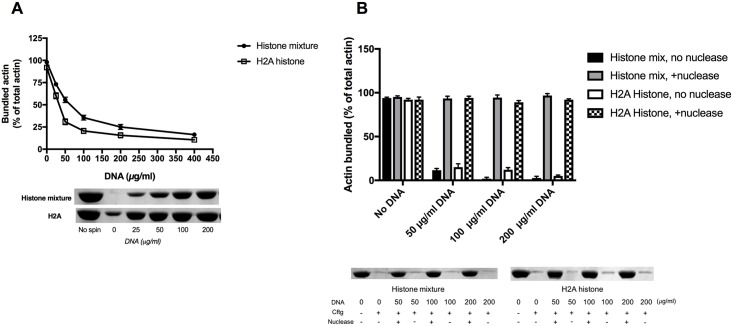 Effect of DNA on the bundling of F-actin by histone. (A), Effect of 25–400 μg/ml DNA on the sedimentation of 4 μM MgF-actin bundled by 42 μg/ml histone mixture or 3 μM (42 μg/ml) H2A histone. (B), Effect of 0–200 μg/ml DNA digested by Staphylococcus aureus micrococcal DNase on the sedimentation of 4 μM MgF-actin bundled by 42 μg/ml histone mixture or by 3 μM (42 μg/ml) H2A histone. 4 μg/ml DNA was digested by 20 μg/ml micrococcal DNase at 37°C for 30 min. Samples were centrifuged at 20800xg for 8 min, supernatants run on SDS-PAGE and evaluated as described in MATERIALS and METHODS. The presented data are mean and standard deviation of three independent experiments. Insets: actin lanes, representatives of three independent experiments, from the SDS-PAGE of low speed centrifugation supernatants.