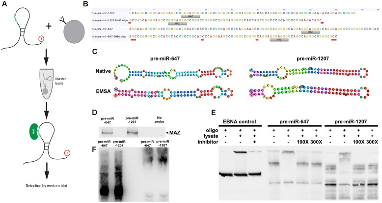 """MAZ binds to pre-miR-1207 and -647 in the nucleus. (A) Schematic illustration of the workflow of the RNA pull-down assay. Biotinylated pre-miRNA were conjugated to streptavidin-coated beads and used as bait to retrieve binding proteins from pre-cleared nuclear lysate. (B) Design of pre-miR oligos for electrophoretic mobility shift assay (EMSA). """"MAZ"""" labels indicate putative MAZ binding sites. Red labels indicate where native sequences were edited to achieve the 80 nt length limit. (C) Predicted hairpin structures of native and edited EMSA pre-miRs. Bulge loop features from the original predictions were retained in the new sequences. Oligo design and structure prediction was done using Geneious software. (D) Western blot detection of RNA pulldown assay. MAZ was detected at 55 kDa. (E) EMSA demonstrating shift of pre-miRs by addition of nuclear lysate. Me1a1 oligo was used as a competitive inhibitor to binding, which reversed the observed shift. (F) Western-EMSA (WEMSA) shows the presence of MAZ in the shifted band."""