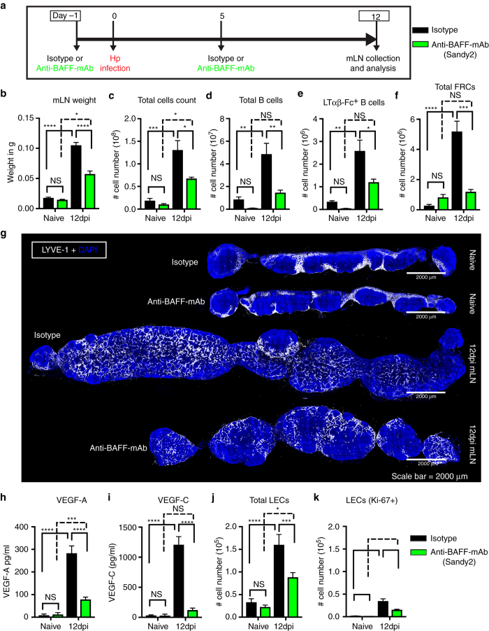 In vivo BAFF inhibition attenuates helminth-induced lymphangiogenesis. a C57BL/6 J wild-type mice were treated with isotype control or anti-BAFF mAb (Sandy-2) and infected with Hp . The entire chain of the mLN was collected at 12 dpi and processed for flow cytometry or histological staining. b Total weight of mLN, c total cell count, d total number of B cells, e absolute number of lymphotoxin-expressing B cells, and f total FRCs (PDPN + MadCAM1 − CD31 − ) present within the mLN as determined using flow cytometry. g mLN serial cryosections showing lymphatic organization after treatment with isotype control or anti-BAFF mAbs in naive or at 12 dpi mice ( blue ; DAPI, grays ; LYVE-1 + LECs). Scale bar = 2000 μm. Images are from a single mouse and are representative of two independent experiments each including n ≥ 2 mice/group/time point. h VEGF-A and i VEGF-C in mLN tissue homogenates as determined by ELISA. j , k total LECs (PDPN + CD-31 + ) and proliferating LECs (PDPN + CD-31 + Ki-67 + ) in the mLN of naive and 12 dpi mice treated with isotype control or anti-BAFF mAbs were determined using flow cytometry. Data represent mean ± SEM and representative of two independent experiments with n = 3mice/group/time-point. Statistical analyses were performed using ANOVA, Bonferroni's multiple comparison test and significance donated as * P