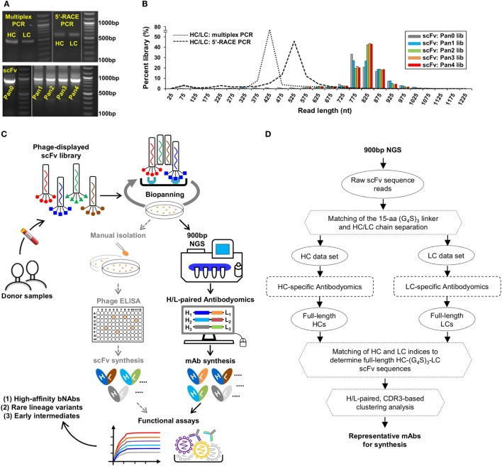 Digital panning, a quantitative method for identification of functional antibodies. (A) Gel electrophoresis of three donor-17 antibody libraries generated from multiplex PCR using gene-specific primers, 5′-RACE PCR using single 3′-reverse primers, and H/L-overlapping PCR using gene-specific primers. For the purpose of formatting, the DNA gel has been rearranged with splicing (labeled with white lines). (B) Read length distributions of three donor-17 antibody libraries obtained from Personal Genome Machine (PGM) sequencing. Five single-chain variable fragment (scFv) libraries are plotted as histograms and color-coded according to their antigen panning steps: gray (Pan0), cyan (Pan1), green (Pan2), orange (Pan3), and red (Pan4). The two mixed HC/LC libraries generated from multiplex PCR and 5′-RACE PCR are shown as black dotted and dashed lines, respectively. (C) Schematic view of the digital panning method with the route of conventional panning included for comparison. Briefly, a scFv library is first constructed from donor peripheral blood mononuclear cells (PBMCs) and displayed on the phage surface for biopanning against an optimized antigen. The pre- and post-panning scFv libraries are sequenced on PGM to achieve 900 bp read length, with the sequenced full-length scFv libraries processed and analyzed by an H/L-paired antibodyomics pipeline. Representative scFv clones are selected for mAb synthesis and functional characterization. In HIV-1 bNAb studies, digital panning may identify high-affinity bNAb-like scFvs, rare bNAb lineage variants, and early intermediates. (D) Schematic view of an H/L-paired antibodyomics analysis.