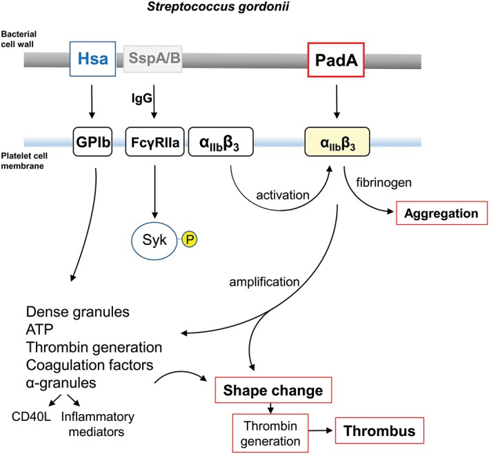 Diagrammatic representation of some of the processes involved in platelet activation by S. gordonii . Cell wall‐anchored proteins Hsa and PadA interact with platelet membrane integrins GPIb and α IIb β 3 (GPIIbIIIa). Hsa captures platelets under flow (rolling) by binding GPIb, and possibly also α IIb β 3 , and activates signalling cascades including FcγRIIa phosphorylation, leading to dense granule release (see Arman et al., 2014 ). PadA binds activated α IIb β 3 , thus amplifying signals leading to shape change, thrombin production, coagulation, and thrombus formation. Platelet activation by S. gordonii can occur in the absence of specific IgG. However, with IgG present, there is evidence for activation (phosphorylation) of spleen tyrosine kinase (Syk‐P) through FcγRIIa. Conserved streptococcal surface protein antigens such as antigen I/II proteins (e.g., SspA/B) may also be involved in the overall process (Kerrigan et al., 2007 ). Physiologically, collagen activates Syk through GPVI, which is closely associated with FcγRIIa (not shown). Fibrinogen engages GPIIbIIIa (α IIb β 3 ), which also associates with FcγRIIa. CD40L (otherwise known as CD154) is up‐regulated in the platelet cell membrane and binds CD40 + cells such as endothelial cells and neutrophils, while soluble (released) CD40L further activates platelets
