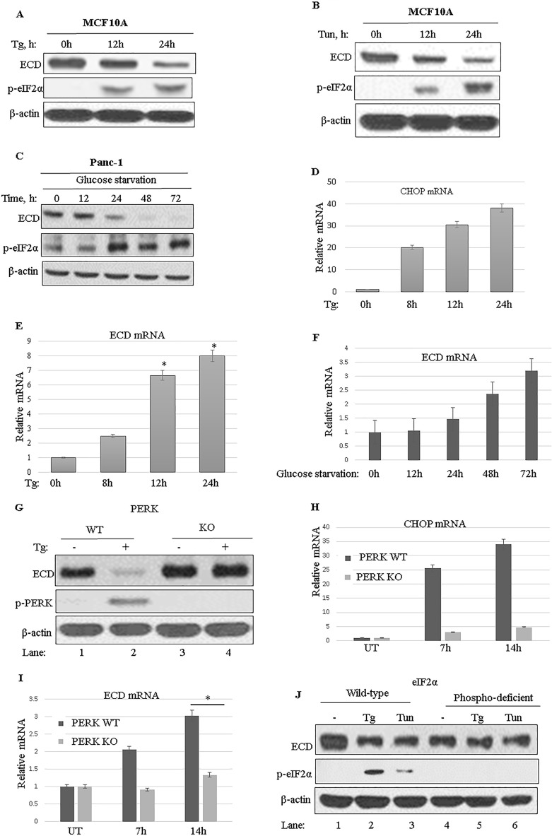 Induction of ER stress leads to reduced ECD protein expression in a PERK-eIF2α-dependent manner. (A to C) MCF-10A cells were treated with thapsigargin (Tg; 50 nM) (A) or tunicamycin (Tun; 50 ng/ml) (B), and Panc-1 cells were cultured in a glucose-free medium (C), and then cell lysates were prepared at the indicated time points. Equal amounts of proteins were resolved by SDS-PAGE and then subjected to Western blotting with the indicated antibodies. An increase in the level of p-eIF2α served as a marker for induction of ER stress. (D to F) MCF-10A cells were treated with thapsigargin (D and E) and Panc-1 cells were cultured in glucose-free medium (F), and then total RNA was isolated and subjected to qRT-PCR using CHOP primers and ECD primers. Data are means and standard deviations (SD) for 3 independent experiments *, P