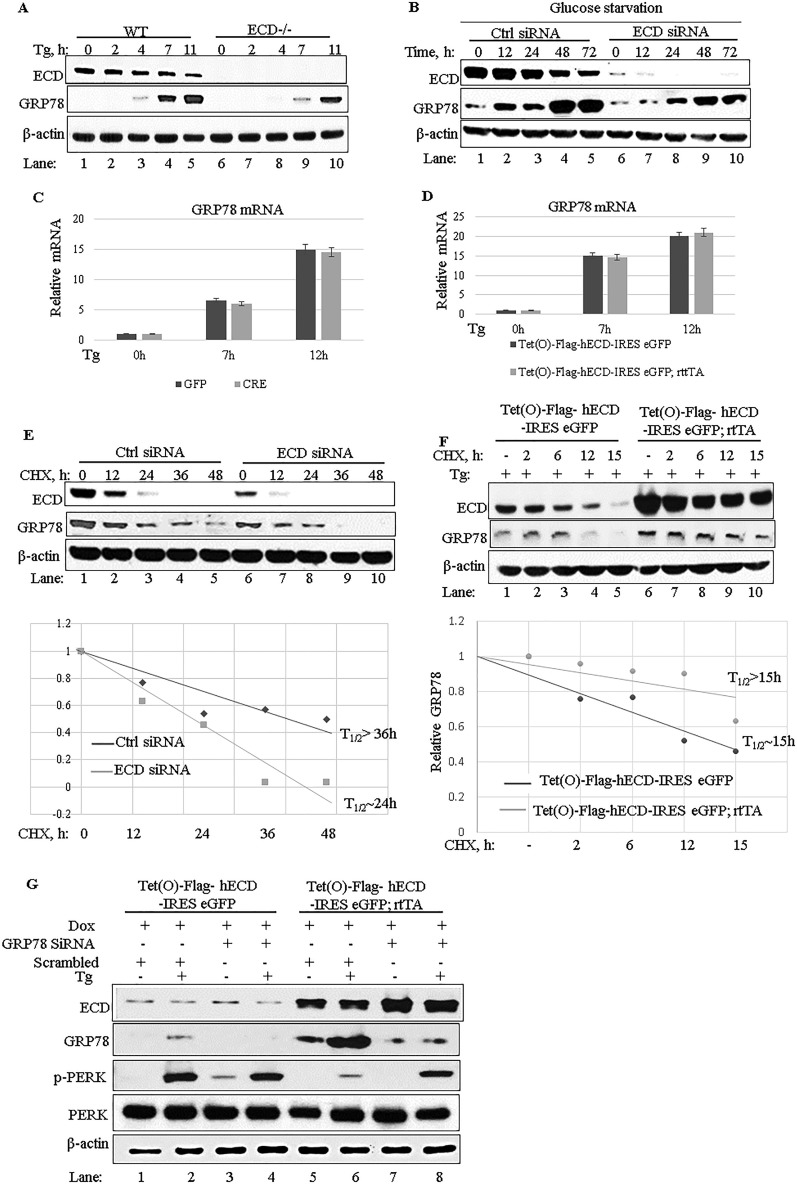 Increased induction of GRP78 expression is required for ECD to downregulate PERK signaling. (A) Ecd fl/fl MEFs were treated with adenovirus as described in the legend to Fig. 3A to C , and then the cells were treated with thapsigargin (50 nM). Cell lysates were prepared at the indicated time points. Equal amounts of proteins were resolved in an SDS-PAGE gel and then subjected to Western blotting with the indicated antibodies. (B) ECD was knocked down by use of siRNA (20 nM) in Panc-1 cells, followed by exposure to glucose-free medium, and cell lysates were collected at the indicated time points and subjected to Western blotting with the indicated antibodies. (C and D) Following ECD deletion (C) or ECD overexpression (D) and thapsigargin treatment as described above, the levels of GRP78 mRNA were assessed in WT (control) versus ECD −/− (adeno-Cre treated) or control versus ECD-overexpressing MEFs by use of qRT-PCR. (E) ECD was knocked down in Panc-1 cells, followed by cycloheximide treatment (25 μM). Cell lysates were prepared at the indicated time points and subjected to Western blotting with the indicated antibodies. (F) ECD-inducible MEFs and their control MEFs were treated with Dox as described previously, followed by treatment with thapsigargin and then cycloheximide treatment (25 μM) for the indicated times. Cell lysates were prepared and subjected to Western blotting with the indicated antibodies. (G) ECD-overexpressing MEFs and control MEFs were treated with GRP78 siRNA (30 nM) or control siRNA (scrambled). Twenty-four hours later, the cells were treated with Dox for 48 h to induce ECD overexpression, followed by thapsigargin treatment (50 nM). Equal amounts of proteins were resolved in an SDS-PAGE gel and subjected to Western blotting with the indicated antibodies.