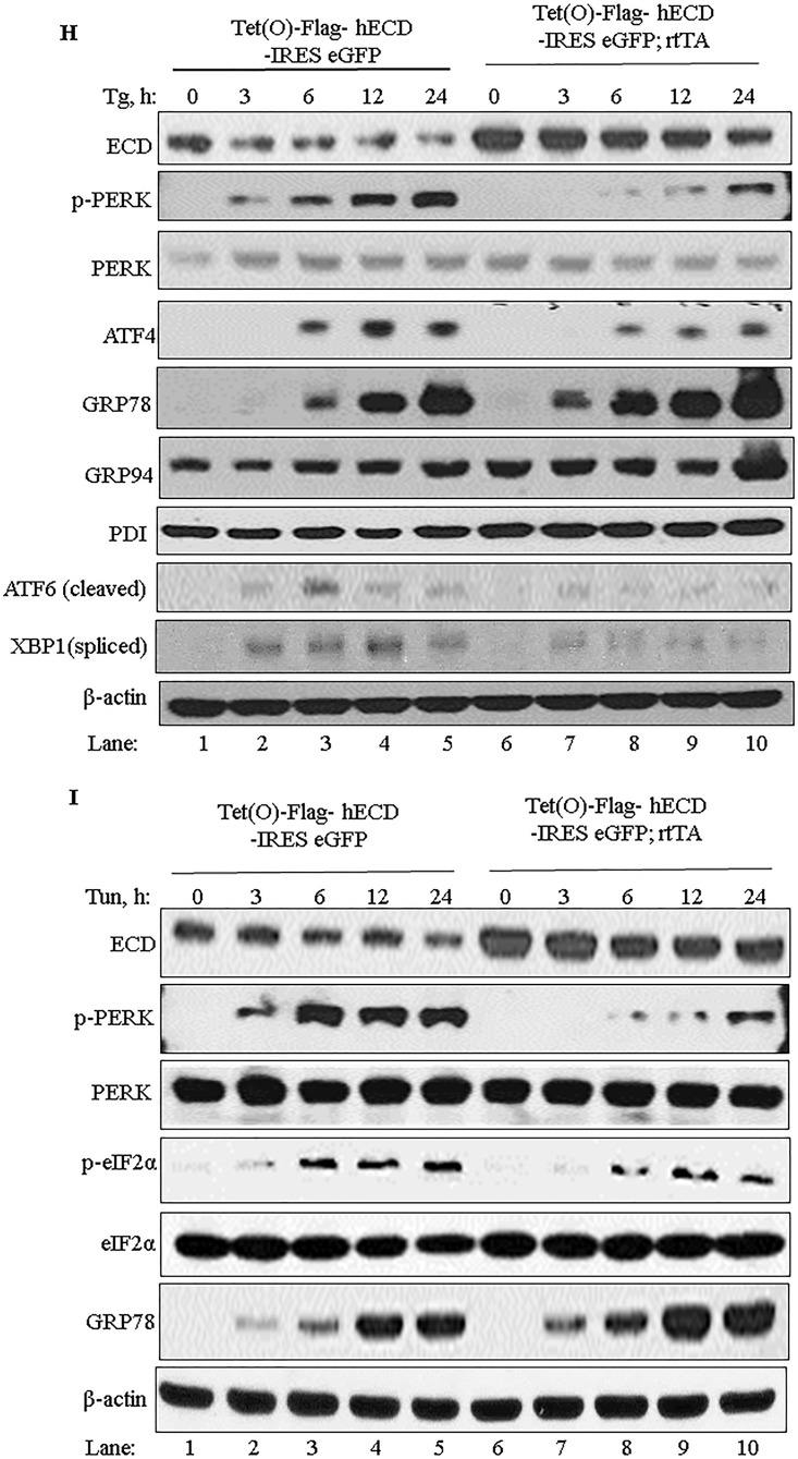ECD regulates the PERK pathway of the UPR. (A and C) Ecd fl/fl MEFs were infected with an adenovirus coding for GFP (adeno-GFP; control) or Cre (adeno-Cre) for 72 h. The cells were then left untreated or treated with thapsigargin (50 nM). Equal amounts of proteins were resolved in an SDS-PAGE gel and then subjected to Western blotting with the indicated antibodies. (B) After adenovirus infection as described for panel A, the cells were treated with thapsigargin. Total RNA was isolated and subjected to qRT-PCR with CHOP primers. The data are means and SD for 3 independent experiments. *, P