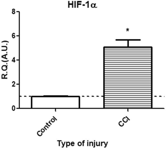 In vivo, at 3 h post-injury, CCI of the infraorbital nerve elicited a significant increase in hypoxia marker HIF-1α mRNA expression levels as compared to sham-injured animals. Changes in HIF-1α mRNA levels were assessed in the IoN of CCI-injured animals compared to sham-injured controls, using semi-quantitative RT-PCR analyses. Data are presented as relative quantification (R.Q.) in arbitrary units (A.U.) corresponding to the ratio of specific mRNA over RPS18 mRNA. Each bar corresponds to the mean ± SEM of n = 5–6 animals for each condition; * p