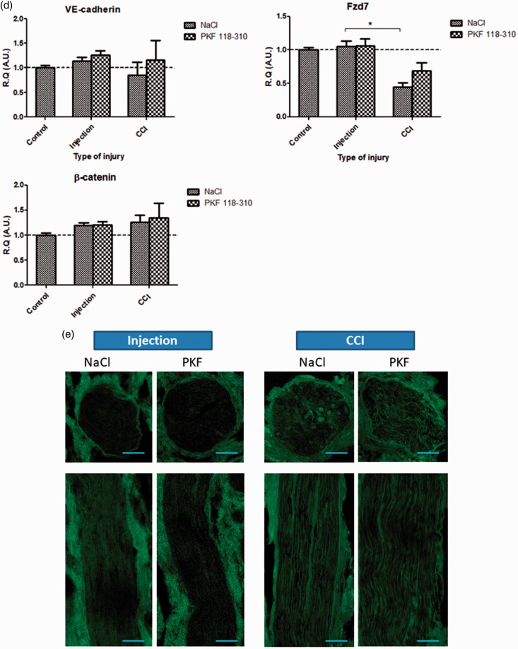 In vivo , at 3 h post-injury, inhibition of Wnt/β-catenin signaling could not prevent the molecular and vascular alterations following infraorbital nerve chronic constriction injury (IoN-CCI). (a to d) Changes in mRNAs expression levels of TJ proteins Claudin-1, Claudin-5, Occludin (a), inflammatory markers TLR2 and CD11b (b), Hedgehog pathway markers Patched-1 and Gli-1 (c), and Fzd-7/ β-catenin/VE-cadherin AJ complex proteins (d) were assessed using semi-quantitative RT-PCR following either perineural injections (used as a control condition), or infraorbital nerve chronic constriction injury (CCI) following either PKF 118-310 (50 μM; Wnt pathway antagonist) or NaCl 0.9% injections (three injections, spaced 6 h apart, starting 24 h before injury), as compared to noninjured IoN of naïve rats (serving as baseline values for mRNA levels comparisons). Data are presented as relative quantification (R.Q.) in arbitrary units (A.U.) corresponding to the ratio of specific mRNA over RPS18 mRNA. Each bar corresponds to the mean ± SEM of n = 5–8 animals for each time point (post-injury); * p