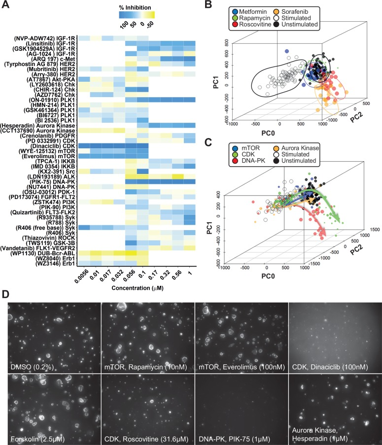 Phenotypic analysis discriminates potentially undesirable compound effects. ( A ) Validation of compounds from each target identified in Figure 3 . Mean percent inhibition (technical replicates representing triplicate wells) of cyst growth is depicted by a color scale from yellow (no inhibition of forskolin-induced cyst growth) to blue (complete inhibition of forskolin-induced cyst growth). Standard deviations are not included in this plot; for reference purposes, several dose curves are included in Supplemental Figure S6 . A mean Z′ factor of +0.36 between stimulated and unstimulated control conditions was calculated over six plates. ( B,C ) Multiparametric (PCA) analysis (PCA plot summarizes 84% of variation in the entire dataset) identifies different compound clusters, as shown by the contour plots. Forskolin-stimulated controls (large cysts) are represented as empty circles; unstimulated controls (small cysts) are represented as black dots. Data points represent single wells. ( C ) PCA plot summarizing 84% of variation in the entire dataset. Trajectories of different compound types are indicated by arrows (mTOR inhibitors, blue; CDK inhibitors, green; DNA-PK inhibitors, red; aurora kinase inhibitors, orange). Data points represent single wells; point size correlates with molecule concentration (legend omitted for presentation purposes). ( D ) Representative images from conditions shown as in panels A–C. Novel phenotypes identified in panels B and C are illustrated by images of 100 nM dinaciclib and 1 µM PIK-75.