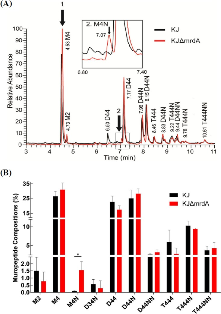 LC-MS analysis results for total muropeptides from wild-type KJ and the mrdA mutant, KJΔ mrdA . (A) The LC-MS total ion chromatogram (TIC) of wild-type KJ and mutant KJΔ mrdA , determined via reversed-phase ultraperformance liquid chromatography coupled to a high-resolution hybrid Orbitrap mass spectrometer. (Inset) Enlargement of the region where M4N is eluted. (The extracted ion chromatogram [EIC] of M4 and M4N are shown in Fig. S3 in the supplemental material.) (B) The ratios of the top 10 muropeptide compositions in wild-type KJ and KJΔ mrdA mutant strain. (The full list of identified muropeptides is provided in Table S2 ). *, P