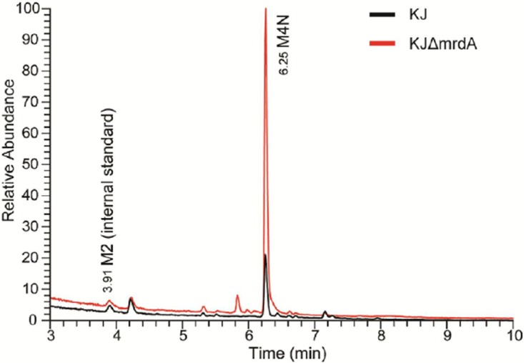 Quantitative LC-MS analysis of periplasmic muropeptides from wild-type KJ and mrdA mutant strain KJΔ mrdA . The LC-MS total ion chromatograms (TICs) of periplasmic muropeptide analysis of wild-type KJ and the mrdA mutant strain, KJΔ mrdA were determined by reverse-phase ultraperformance liquid chromatography coupled to a high-resolution hybrid Orbitrap mass spectrometer. A full list of periplasmic muropeptides is provided in Table S3 . An equal amount of purified N -acetylglucosaminyl- N -acetylmuramyl- l -alanyl- d -glutamic acid in its reduced form (GlcNAc-MurNAc dipeptide; M2), which was only observed in total muropeptides ( Fig. 5 ), was spiked in both wild-type KJ and the KJΔ mrdA strain as an internal standard to quantify the periplasmic muropeptides.