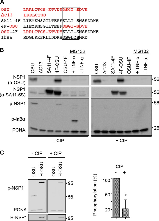Phosphorylation of transiently expressed OSU NSP1. (A) Alignment of C-terminal NSP1 sequences and a portion of IκB containing the DSGΦXS phosphodegron. Red lettering indicates OSU-specific residues. The phosphodegron region is boxed. (B) HEK293T cells were transfected with NSP1 expression vectors or maintained in the presence of MG132 with or without TNF-α, beginning at 20 h p.t. Lysates prepared from cells at 24 h p.t. were resolved by gel electrophoresis, in duplicate, and blotted onto nitrocellulose membranes. Membranes were mock treated (-CIP) or treated with CIP in parallel. Mock- and CIP-treated membranes were probed with <t>PCNA</t> antibody, p-IκB antibody to detect phosphorylated NSP1 (p-NSP1) and IκB (p-IκB), OSU NSP1 antibody to detect OSU and 4F-OSU NSP1, and <t>SA11-5S</t> antibody to detect SA11-4F and 4F-OSU NSP1. (C) Lysates prepared from HEK293T cells transfected with expression vectors for OSU NSP1 (OSU) or HALO-tagged OSU NSP1 (H-OSU) were resolved by gel electrophoresis and blotted onto nitrocellulose membranes, in duplicate. Mock- and CIP-treated membranes were probed with p-IκB antibody to detect p-NSP1 and with antibodies to the HALO tag and PCNA. Levels of phosphorylated H-OSU were calculated relative to PCNA levels and normalized to 100% for the untreated sample. Data shown are from two independent experiments (means ± standard deviations). *, P
